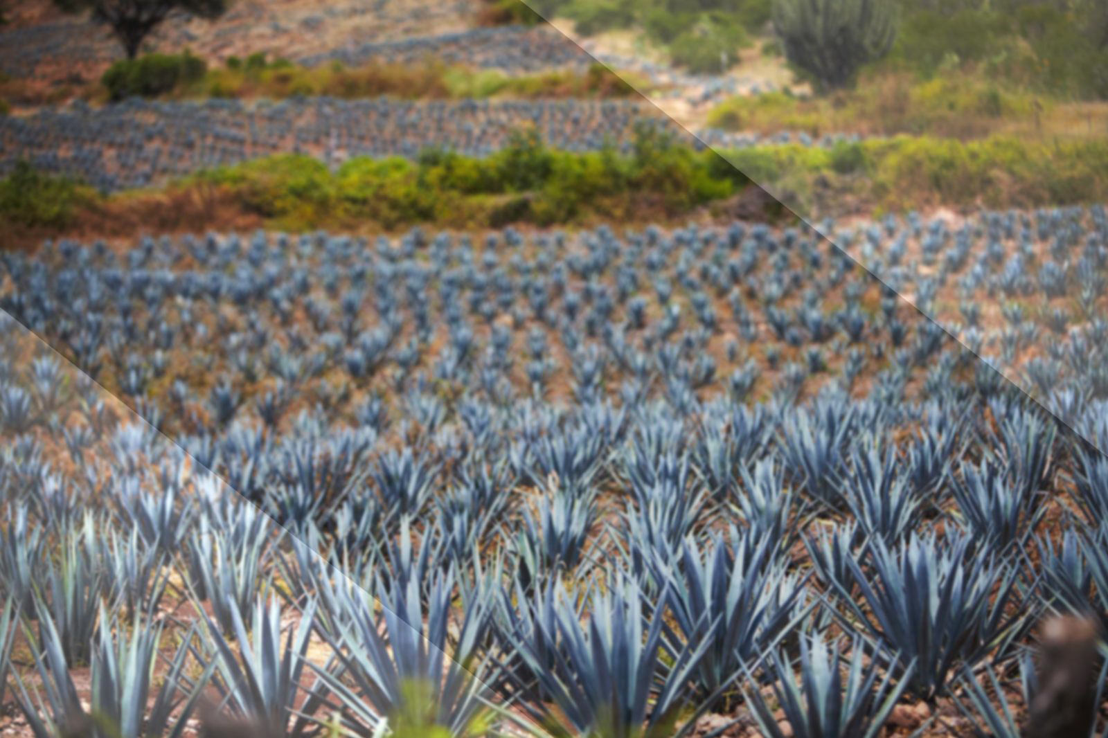 Karma Tequila Agave Plant Hero